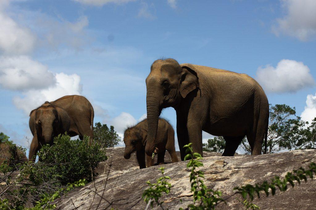The Sri Lankan elephant