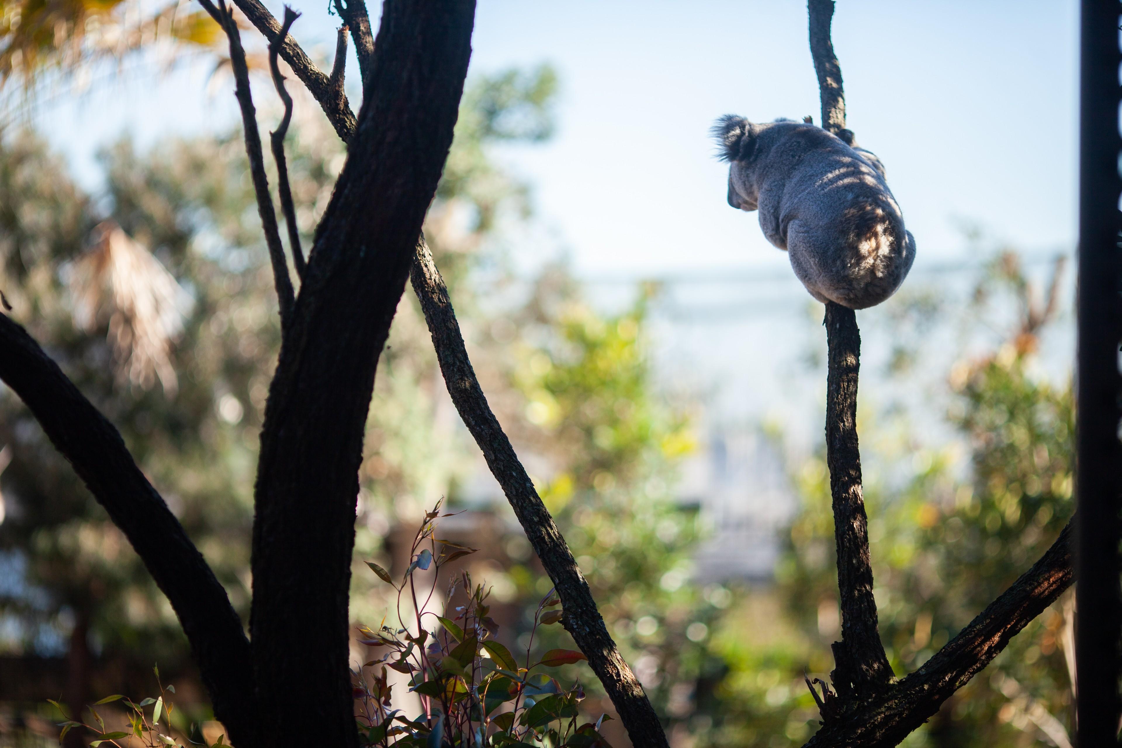 A Koala Bear at the Wildlife Retreat Taronga