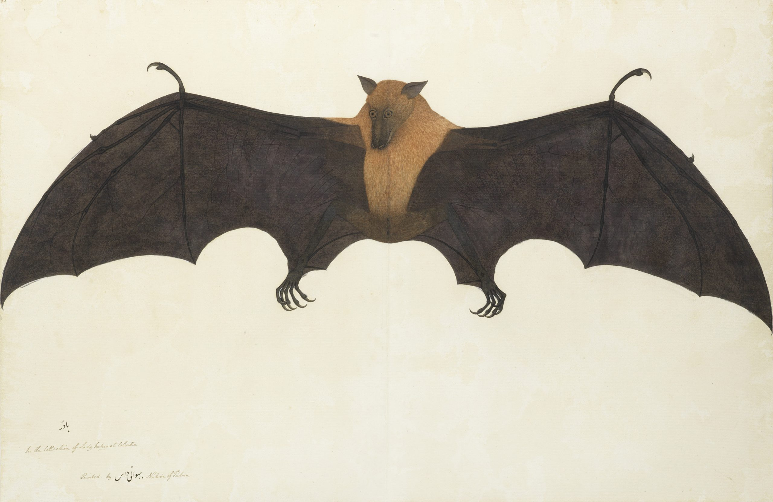 A Great Indian Fruit Bat or Flying Fox (pteropus giganteus) by Bhawani Das. Courtesy: The Wallace Collection